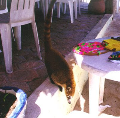 Coatimundi pet Kootie