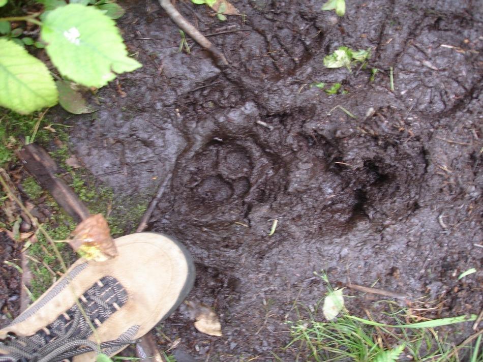 Muddy bear track on hike