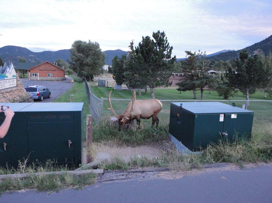 Bull Elk in Estes Park