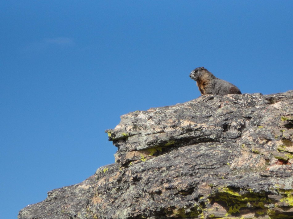 Marmot, Rocky Mountain National Park, CO.