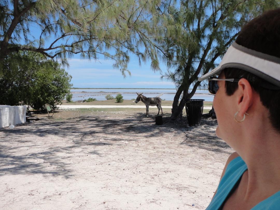 Salt Cay donkey