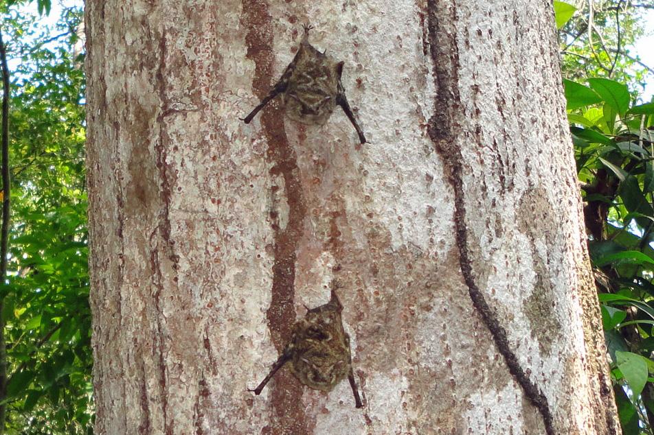Short-nosed Bats, Cuero y Salado refuge, Honduras.