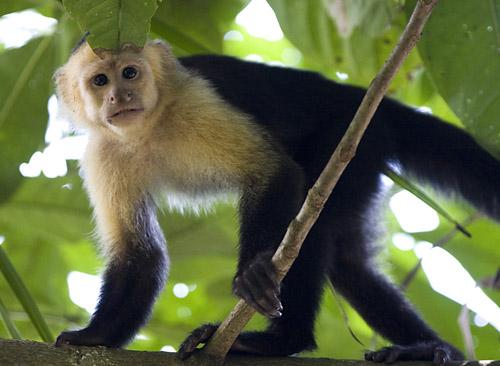 White Faced Capuchin.