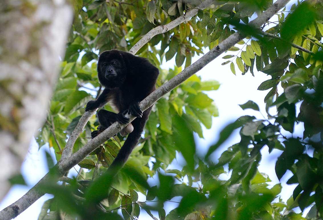 Male Howler monkey, Honduras