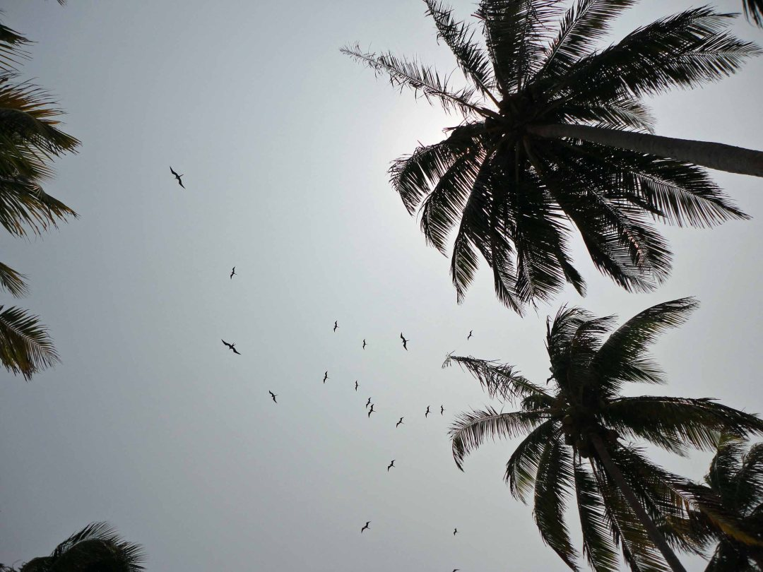 Frigate Birds wheel overhead, Half Moon Caye, Belize