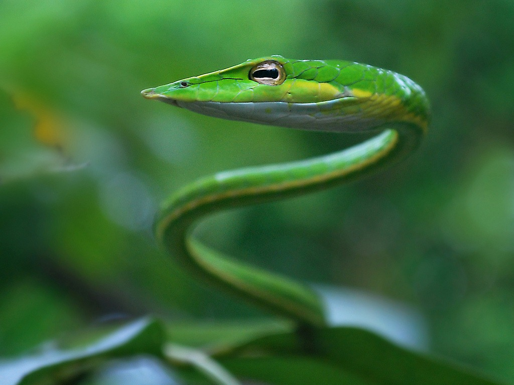 Green vine snake, Belize