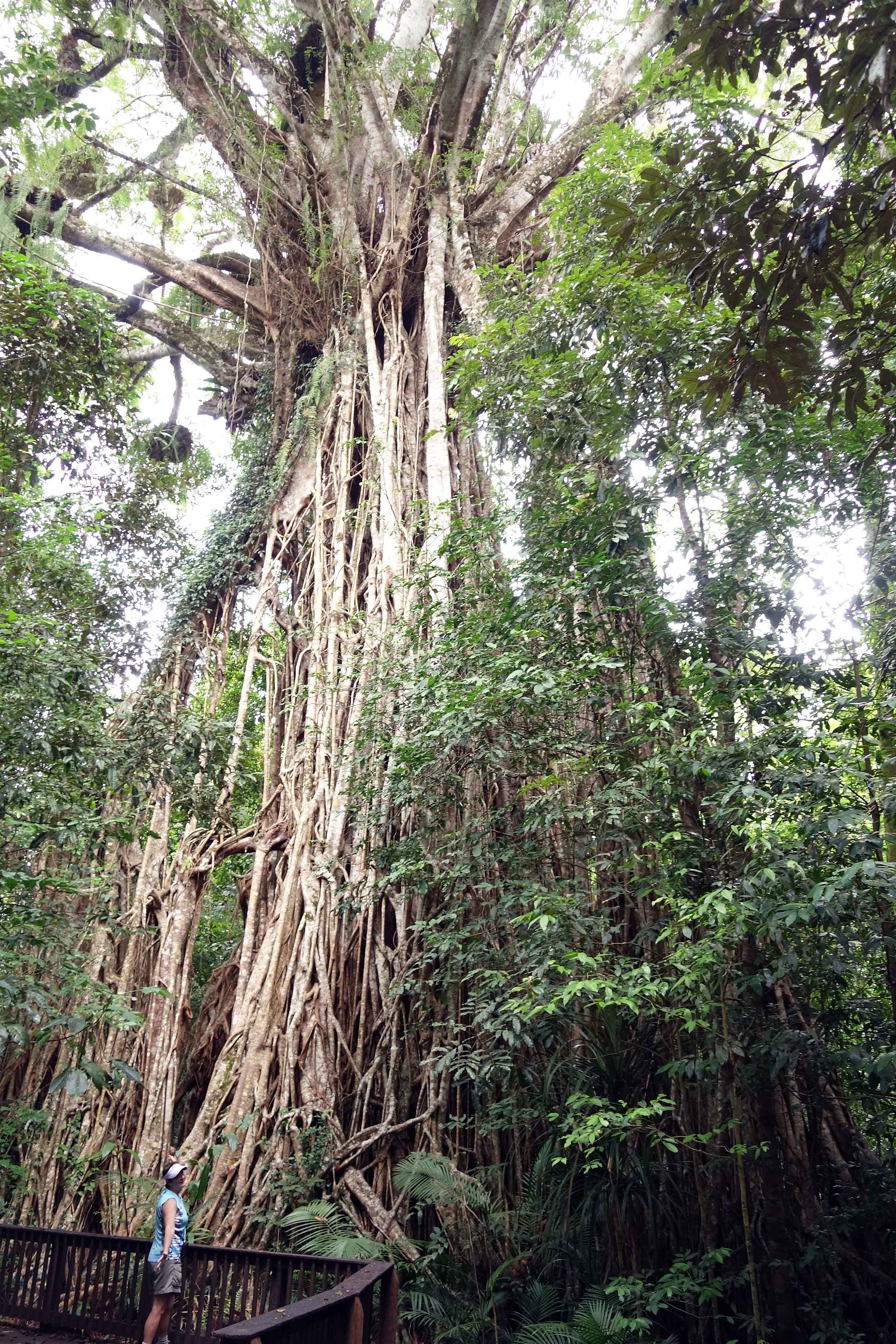 Curtain Fig Tree, Atherton Tablelands, QLD, Australia