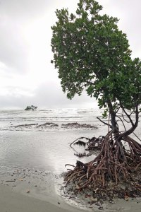mangrove cape tribulation beach