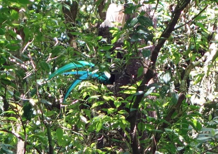 Resplendent Quetzal busy digging nest