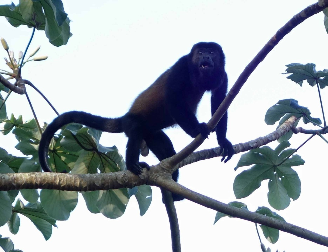 Alpha male Spider Monkey