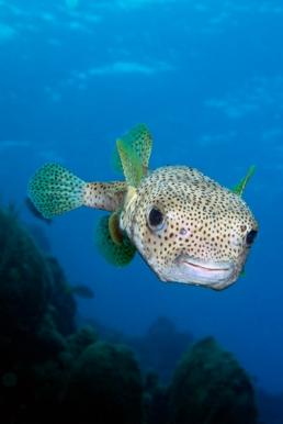 Porcupinefish-2