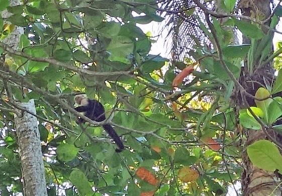 CapuchinLo