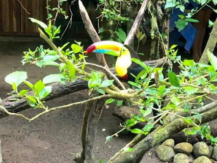 Rescued Toucan chooses this center as its home.